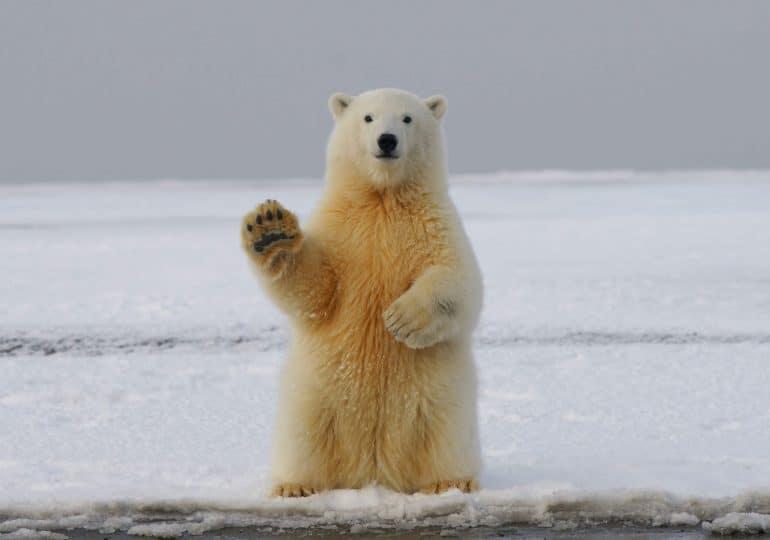 Proekologiczna kampania sklepów IKEA. W roli głównej... niedźwiedź polarny