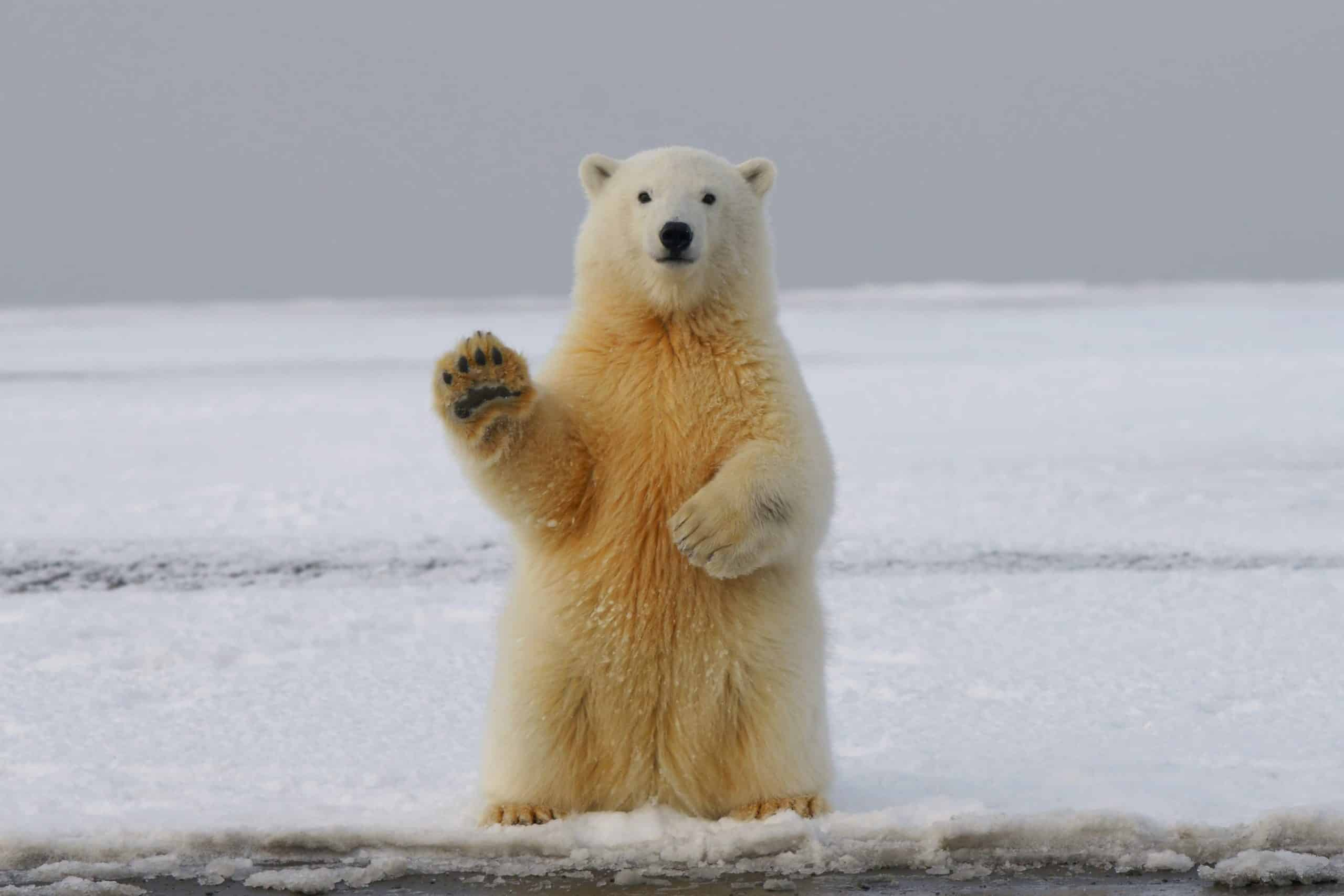 Proekologiczna kampania sklepów IKEA. W roli głównej… niedźwiedź polarny